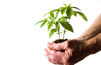 Marijuana Plant Growing From Hands