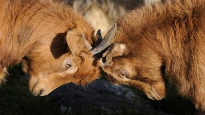 Two animals pressing their horns together
